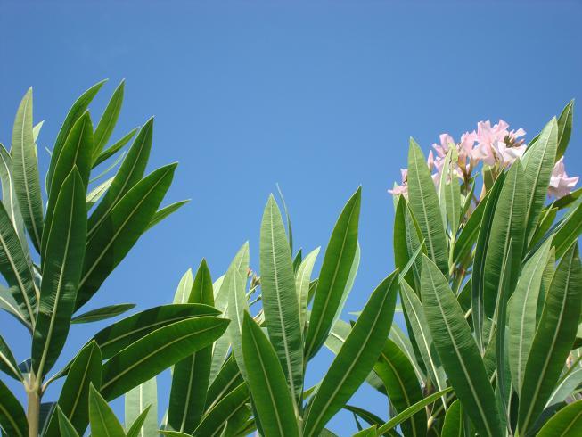 カポレイの花.jpg