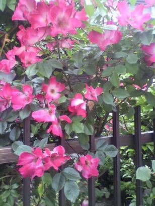 ピンクつるバラ.jpg