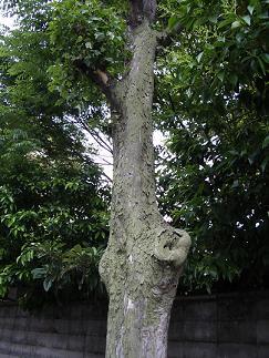宮原の木1.JPG